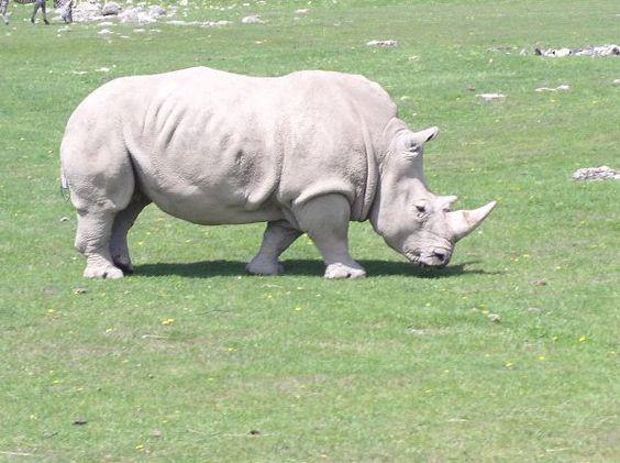 Afrika Gergedanı |  Afrika beyaz gergedan görüntü etiketleri Afrika gergedan Afrika gergedan safari ...