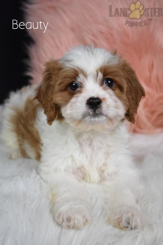 Pin By Alecia Brown On Cavapoos In 2020 Cavapoo Puppies Cavapoo Puppies For Sale Puppies For Sale