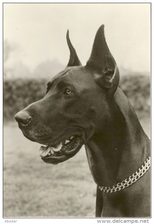 Great Dane Grand Danois Dogge Dogue Allemand Hunde, Cane Old Dog Postcard. cpa. - Delcampe.net