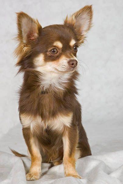 Long Haired Chihuahua … Chihuahua Chihuahua dogs