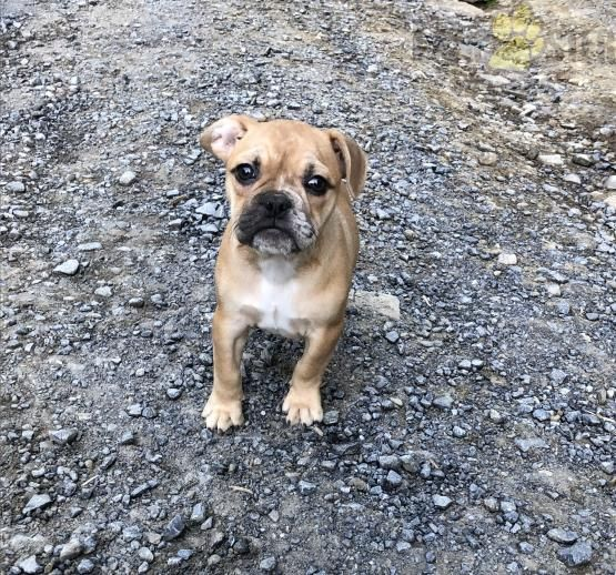 Lilly French Bulldog Mix Puppy For Sale In Port Matilda Pa