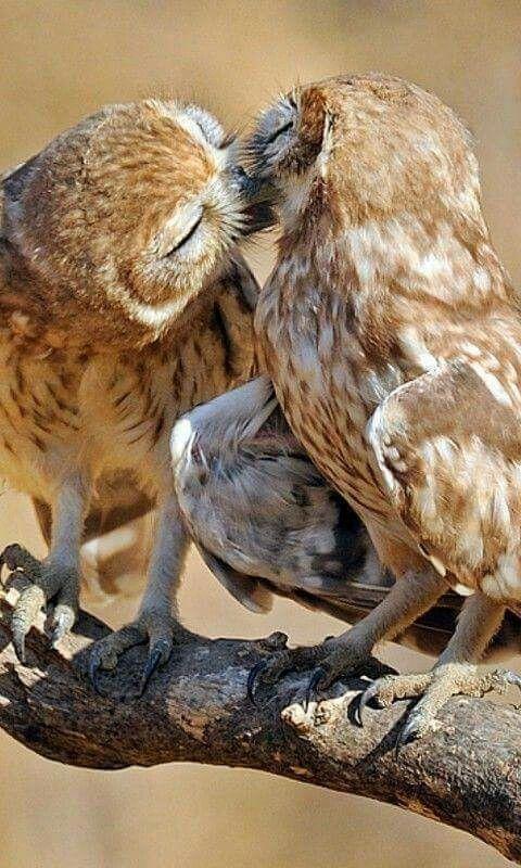 完璧なキスのフクロウ