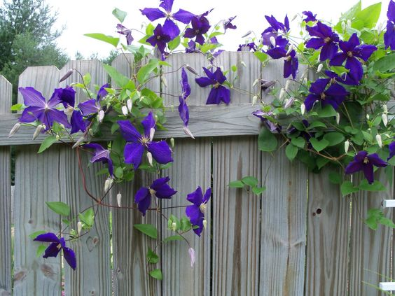 looking through the garden gate | The garden is full of variety. Here a clematis (? Jackmanii) peeks ...
