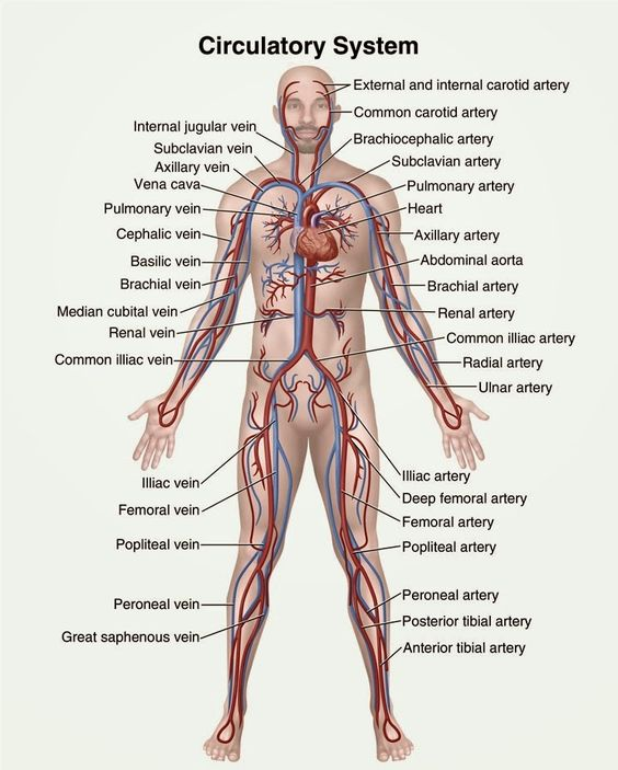 human anatomy and physiology diagrams  circulatory system diagram    human anatomy and physiology diagrams  circulatory system diagram