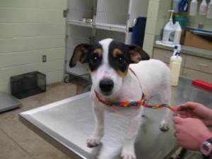 Sally is an adoptable Rat Terrier Dog in Hutchinson, KS. 5 month old female rat terrier...