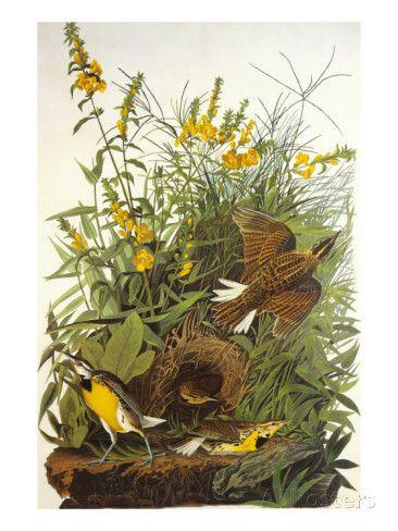 Meadow Lark Print by John James Audubon at AllPosters.com