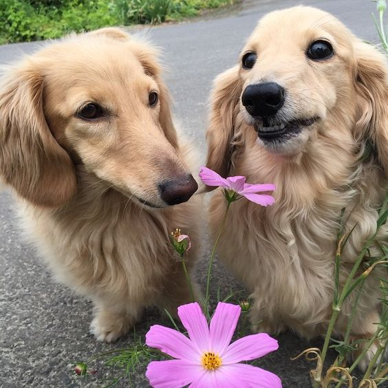 . Good morning ☁️. . 気の早い秋桜が咲いてました. 今日、梅雨入りするかもだそうです. . #カメラ嫌い同好会  #犬の生活が第一 #癒しわんこ #dachshund #ダックス #犬バカ部 #短足部 #ふわもこ部