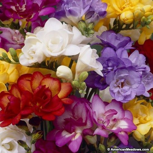 Double Freesia Mix Deer Resistant Flowers Bulb Flowers Freesia Flowers