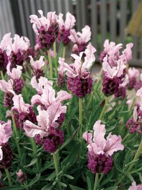 LAVANDULA 'Boysenberry Ruffles'  From the new 'Ruffles & Laces' series. Dusty pink with deeper centers. The bracts atop the flower heads are larger than normal and have distinctly rippled margins giving the unusual ruffled appearance.