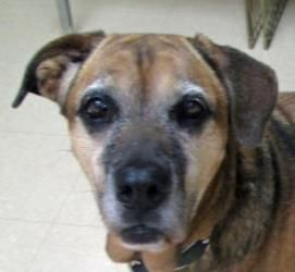 Ellie is an adoptable Boxer Dog in Twinsburg, OH. Ellie is around 7-8 years old and weighs about 65 pounds. This sweet girl can not get close enough to you when you are giving her pets and love. She i...