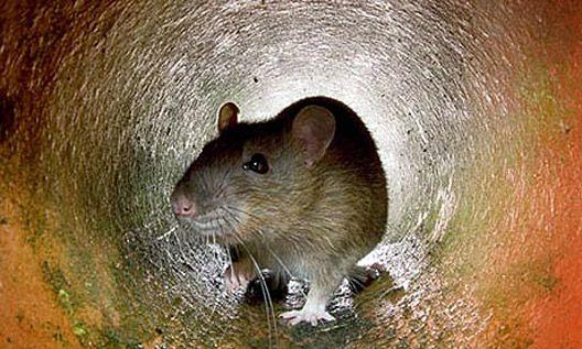Tunnel of rat