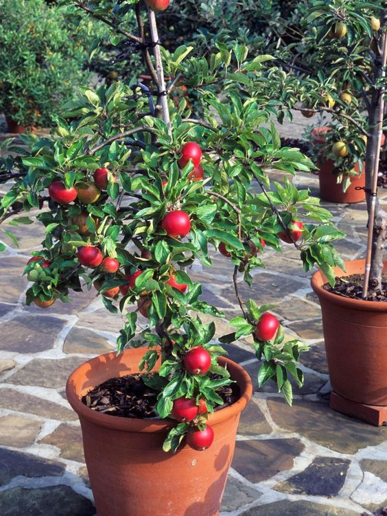 container gardening  9 fruit plants for pots