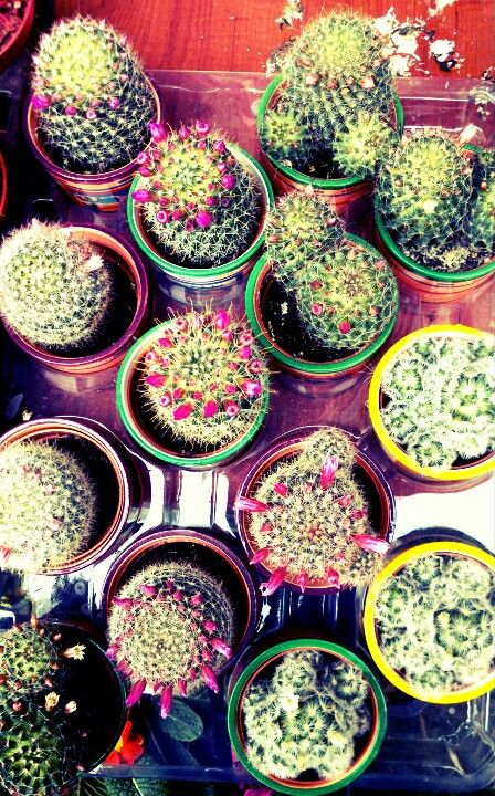cactus cactus in a dish