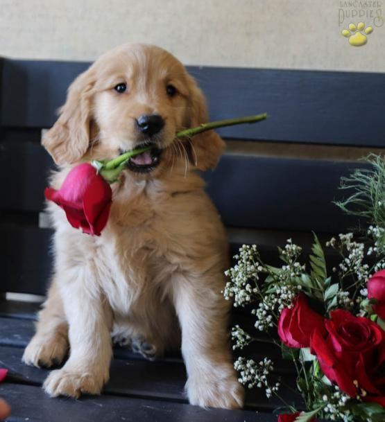 Goldenretrieverpuppy Goldenretriever Retrievers Charming Puppiesofpinterest Pinterestpuppies Lancasterpuppi Cute Dogs Golden Retriever Lancaster Puppies