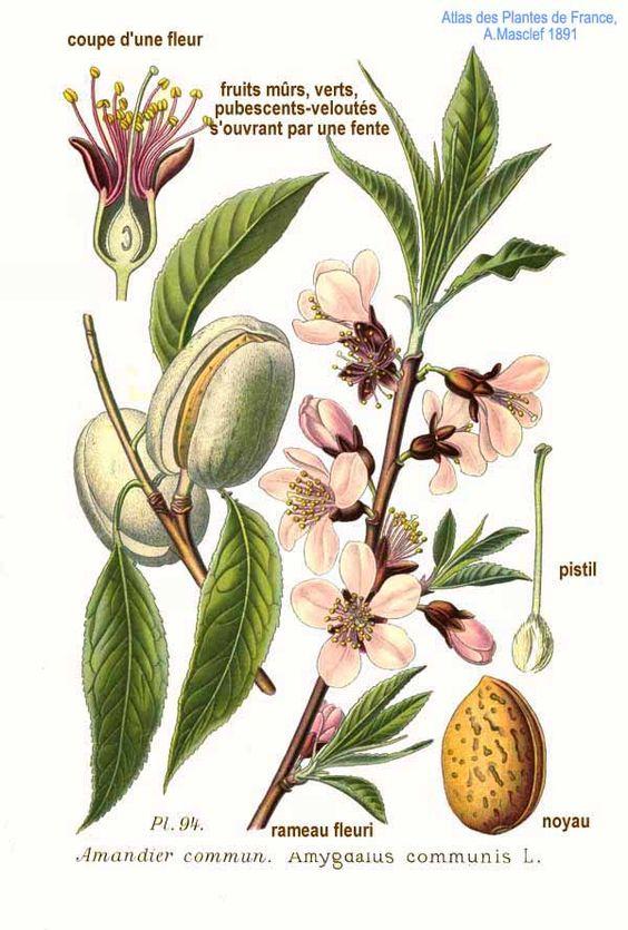 Ilustración del fruto del almendro
