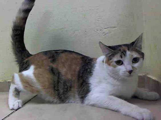 NYACC **URGENT** SUPER ADORABLE CALICO KITTY ALERT** TO BE DESTROYED 7/14/14 Brooklyn Center  My name is CALI. My Animal ID # is A1004963. I am a female calico and white domestic sh mix. The shelter thinks I am about 1 YEAR 3 MONTHS old.  https://m.facebook.com/photo.php?fbid=830268173651683&id=155925874419253&set=a.576546742357162.1073741827.155925874419253&source=56