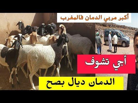جولة عند اكبر مربي سلالة الدمان فالمغرب تبارك الله الكوري قد الباطو Youtube Horses Animals