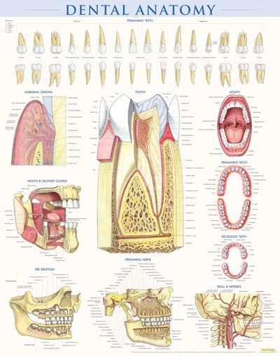 dental anatomy this poster is perfect for dentists  periodontists  orthodontists or any doctor