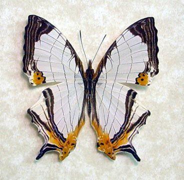 Map Butterfly Cyrestis Nivea Nivalis (one of my favorites)