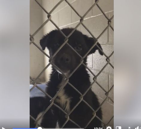 Three Puppies Located In Victoria Tx Has 1 Day Left To Live Adopt Him Now Dog Adoption Puppies Black Puppy