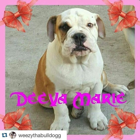 Please friends anyone in LA county or near please have your eye out for sweet Deeva she was stolen today Share to as many friends as you can !!! #Repost @weezythabulldogg with @repostapp.  PLEASE HELP MY BULLY GOT STOLEN  PLEASE HELP MY BULLY DEEVA GOT STOLEN FROM OUR YARD THIS MORNING WE CAN'T FIND HER IF ANYONE IN THE LA COUNTY AREA HAS SEEN HER PLEASE LET US KNOW @THABULLYSQUAD  PLEASE REPOST  by bigchunkymonkey