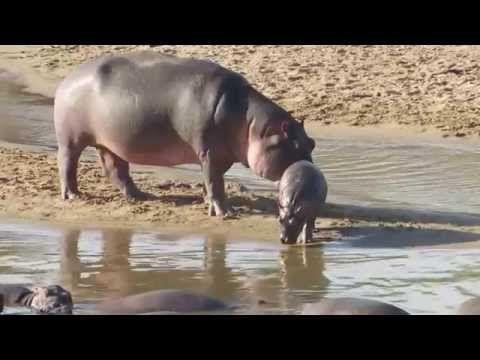 Warzenschwein und Nilpferde beim Baden in der Serengeti - YouTube