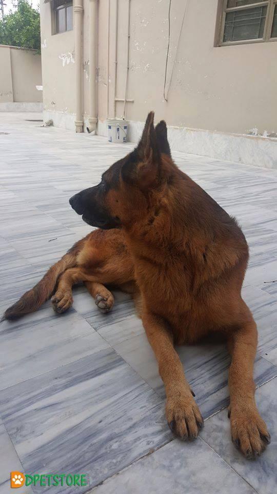 Hugo Vom Ammar Burg Pedigree Gsdcp For Sale Dogs For Sale Kinds