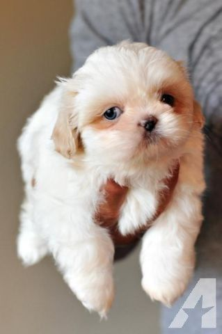 Sweetest Akc Imperial Shih Tzu Baby Rare Color And Ready To Go
