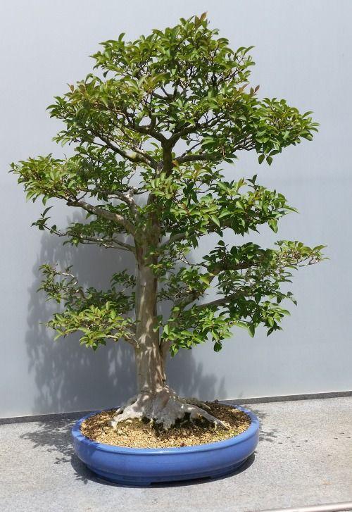 Chicago Botanic Garden Bonsai Tree Crape Myrtle Bonsai Bonsai