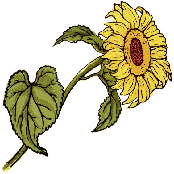 Free Vintage Page Graphic ~ Sheet Music and Sunflowers