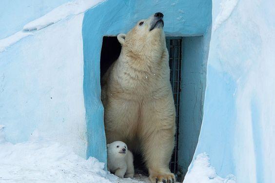 IlPost - Un orso polare e il suo cucciolo nello zoo di Novosibirsk, Russia. (AP photo/Ilnar Salakhiev) - Un orso polare e il suo cucciolo nello zoo di Novosibirsk, Russia.  (AP photo/Ilnar Salakhiev)
