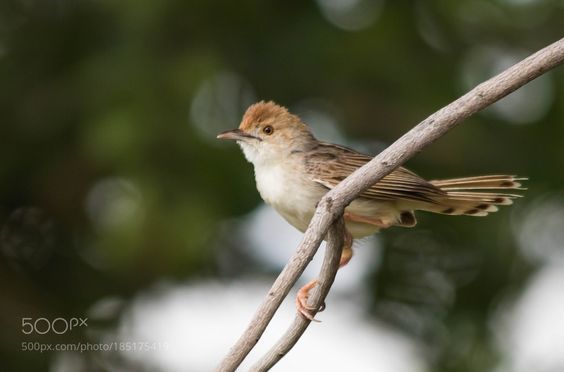 Rattling Cisticola by andrewwillemse via http://ift.tt/2gzEobw