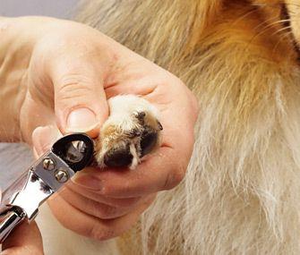 Resultado de imagem para aparando as unhas do pug