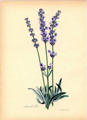 Instant Art Printable - Superb Lavender Botanical - The Graphics Fairy