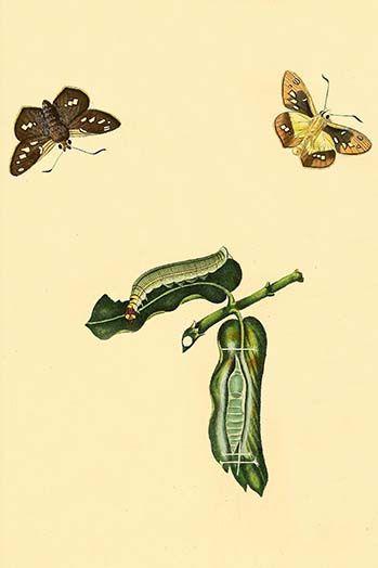 Surinam Butterflies Moths Caterpillars By Jan Sepp 75 Art Print Moth Caterpillar Art Prints Art