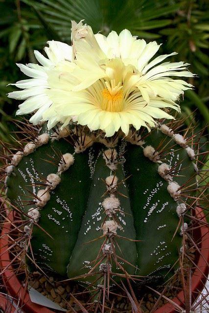 Astrophytum ornatum hybrid