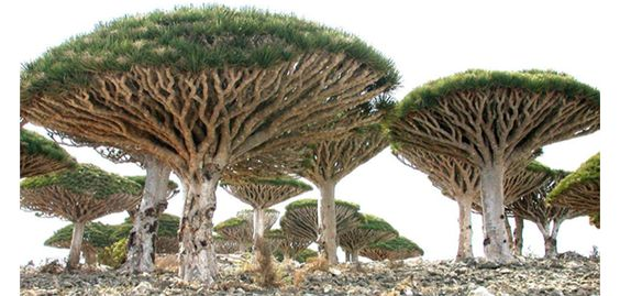 Did you know: Socotra, Yemen is a small archipelago of four islands in the Indian Ocean. The largest island is about 95% of the landmass of the archipelago. The island is very isolated and through the process of speciation, a third of its plant life is found nowhere else on the planet. It has been described as the most alien-looking place on Earth. The island measures 132 kilometres (82 mi) in length and 49.7 kilometres (30.9 mi) in width.