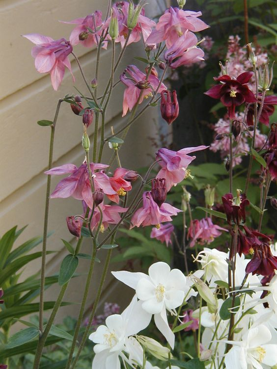 White and burgundy columbines self-hybridized to make pink! - Chicago garden