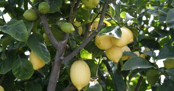 Mit ihren gelb leuchtenden gelben oder orangefarbenen Früchten sorgen Zitruspflanzen für eine mediterrane Atmosphäre. Doch auch die weißen Blüten sind nicht zu verachten. Sie verströmen einen intensiven Duft. Der Clou: Blüten und Früchte sind oft gleichzeitig zu sehen. Zitronen tragen auch im kühlen mitteleuropäischen Klima viele Früchte. Die immergrünen Blätter sind dekorativ und duften.