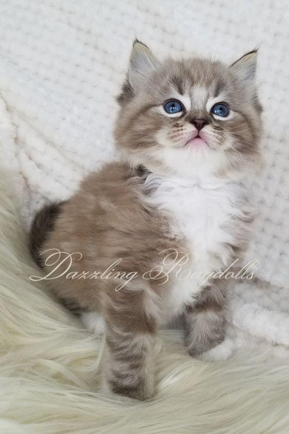Teacup Kittens For Sale Craigslist