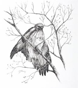 Red Tailed Hawk by Lindsay Johnson. Pastel Animal Drawing