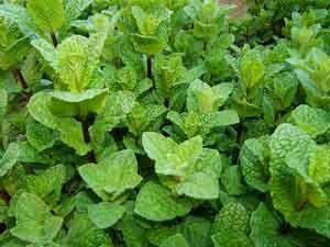 Peppermint is a good natural pest control to plant around the coop. Basil & garlic are also good.: