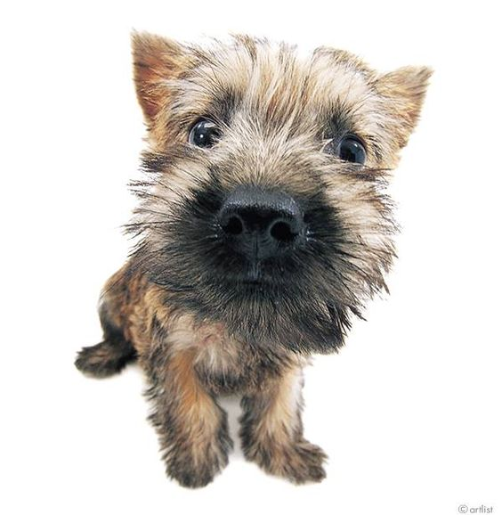 Artlist Collection THE DOG (Cairn Terrier) — Did you know Toto from The Wizard of Oz is a Cairn Terrier breed?