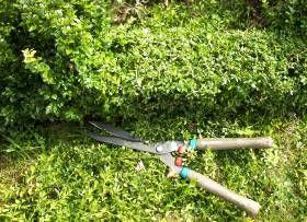 Buchsbaum schneiden - hier ein kräftiger Rückschnitt