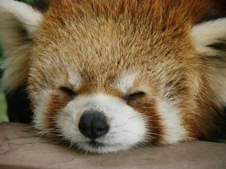 レッサーパンダのお昼寝アップ姿