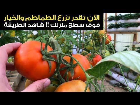 زراعة الخضار الطماطم والخيار بسطح منزل الزراعة المائية سناب الاحساء Youtube Plants Vegetables Enjoyment