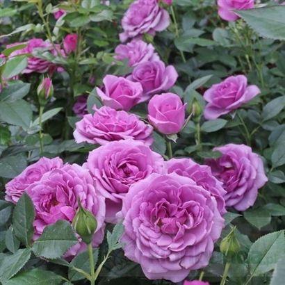Zdjecie Lavender Flower Circus Lavender Flowers Flowers Rose