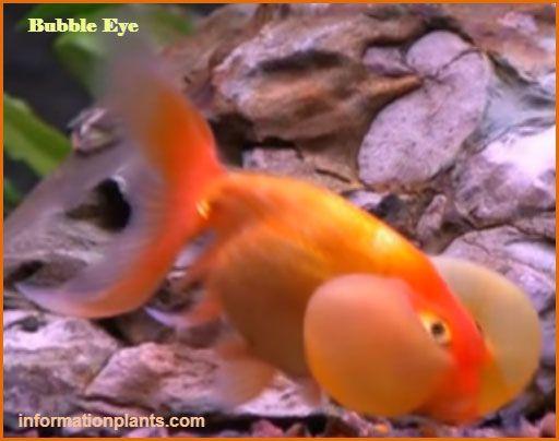 سمكة الزينة العين الفقاعية سمك زينة انواع الاسماك معلومان عامه معلوماتية نبات حيوان اسماك فوائد Fish Pet Pets Fish
