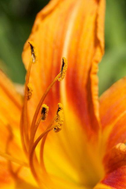 daylily (via Flickr...taken in my backyard)