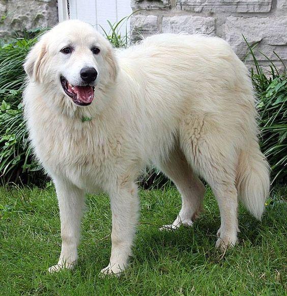 Big Fluffy Dog Rescue Flurffy Pinterest Big Fluffy